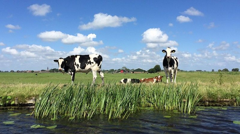 Curious cows along the riverbed (Kager plassen, Netherlands 2016)