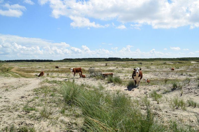 boswachterspad-ameland-hereford-runderen