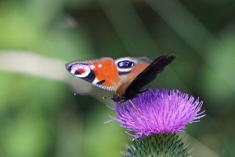 Vlinder op distel 28-6-18