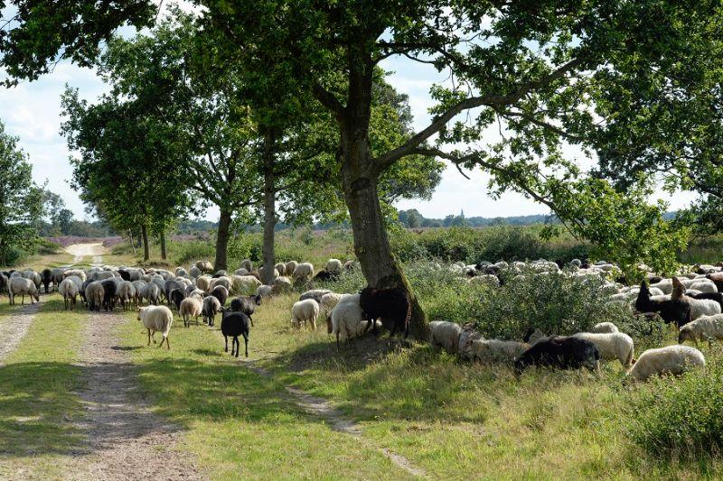 boswachterspad-drentsche-aa-balloerveld-schapen (2)
