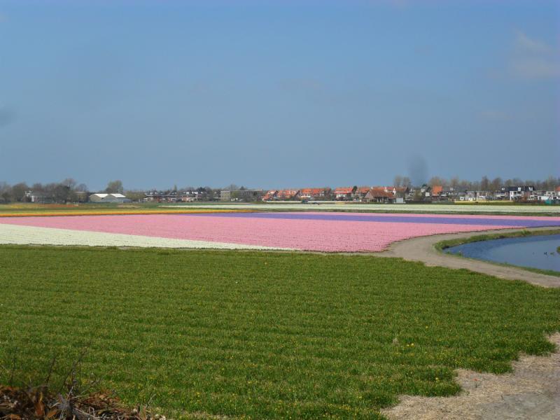 bloeiende bollen tussen Noordwijkerhout en Lisse