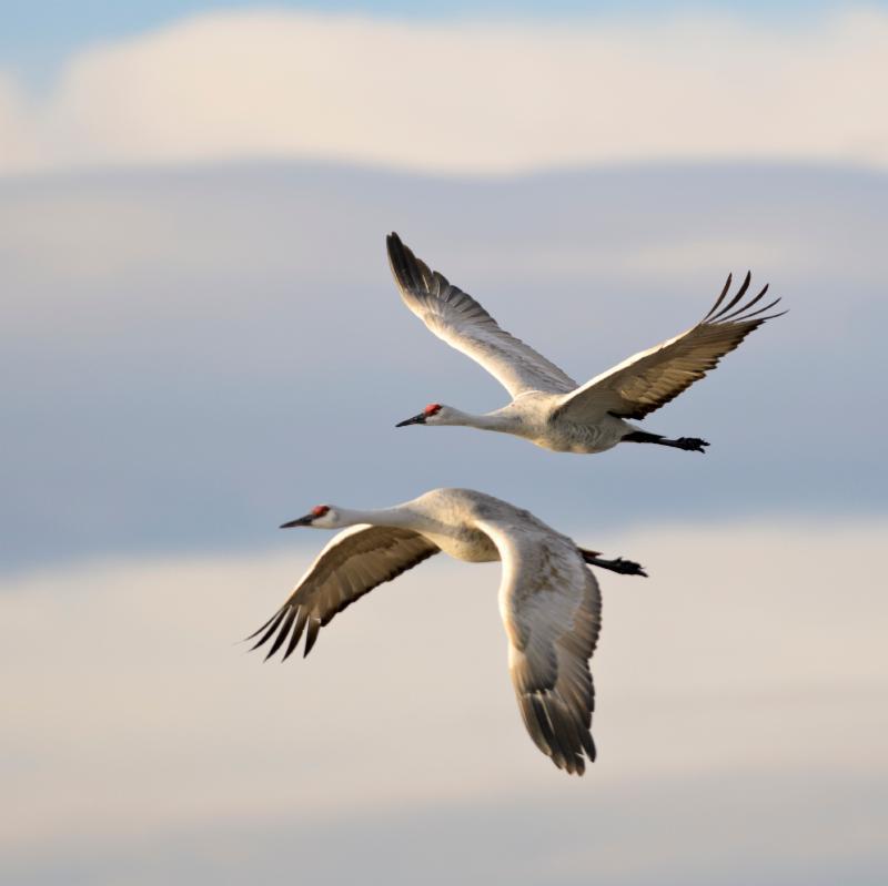 Kraanvogels de Peel