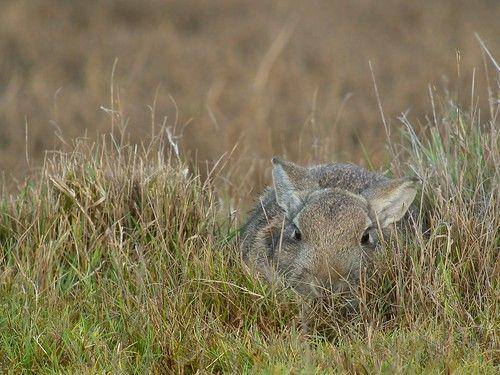European Hare (Lepus europaeus), Seeroskerke, Netherlands