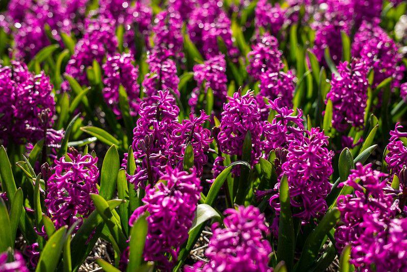 Hyacinths in the Sun