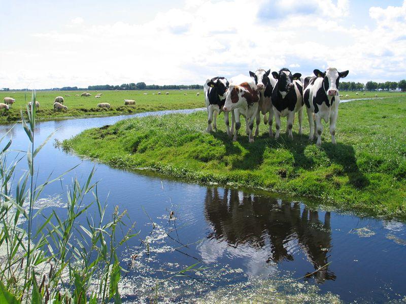 Koeien in Zeevang