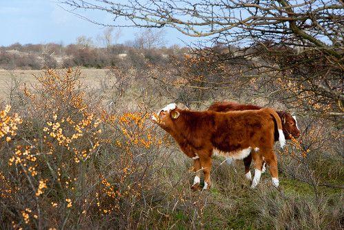 Cows and orange berries