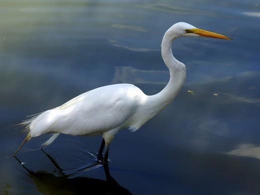 Reiger in Zuidlaardermeer