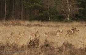 Moeflons op de Schaijkse Heide