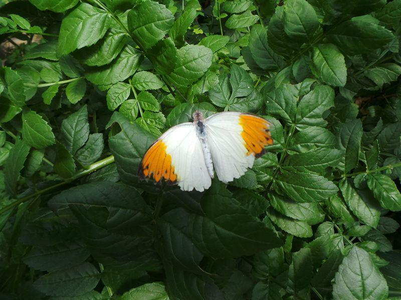 Een van de tientallen vlindersoorten die je kan zien