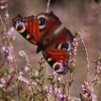 Vlinder op Beedgerheide