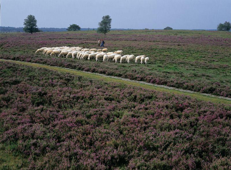 Schaapsherder en zijn schapen